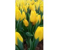 Тюльпаны  желтые Стронг голд