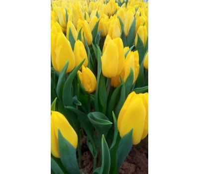Тюльпаны красные Стронг голд