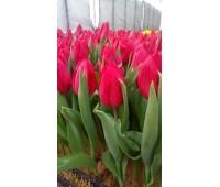 Тюльпаны красные Стронг лав