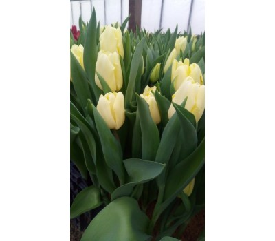Тюльпаны лимонные